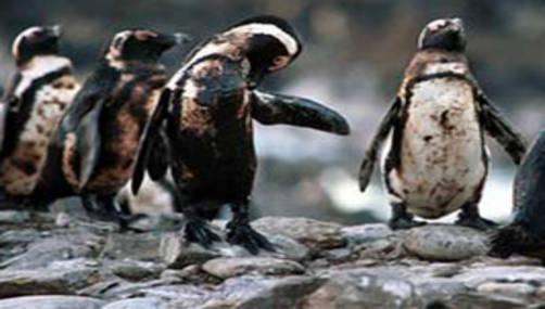 Pingüinos afectados por el petróleo