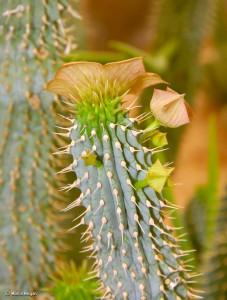 """Hoodia gordonii flower & buds"" por Martin Heigan"