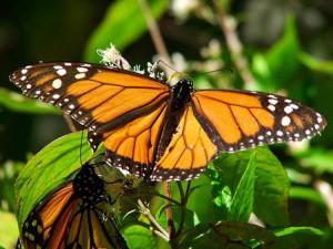 Mariposa como agente benéfico en la siembra y cultivo