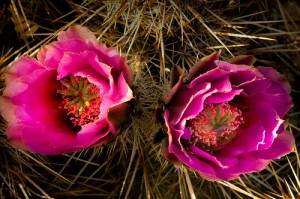 Cactus medicinal - cactus purpura en flor