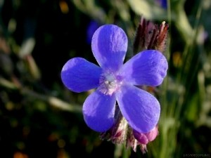 ANCHUSA ITÁLICA (lengua de buey) - Con las flores pueden prepararse tisanas útiles en las enfermedades febriles e infecciosas en que interesa la mayor expulsión posible de toxinas, a través de la piel, con el sudor y por medio de una orina abundante. Las hojas son antihemorrágicas y las flores son sudoríficas y algo diuréticas.
