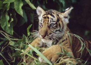 Tigre de Sumatra - Foto: WWF-Canon/Alain Compost