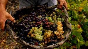 Vinos Caseros de Lavalle - Uvas de Lavalle seleccionadas conforme las reglas establecidas para el uso de la marca colectiva
