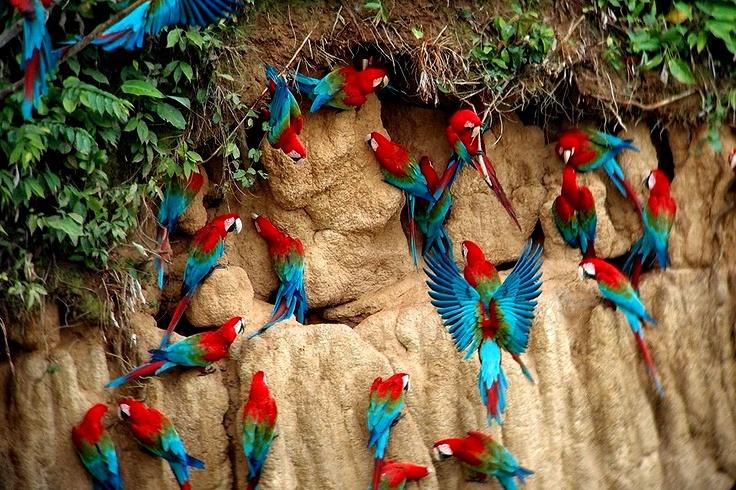 Aves tropicales del Peru - Reserva natural