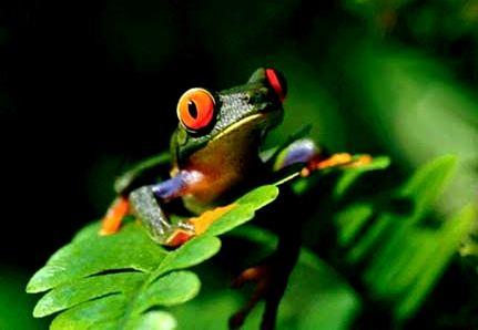 Marcas colectivas y Biodiversidad - Rana tropical